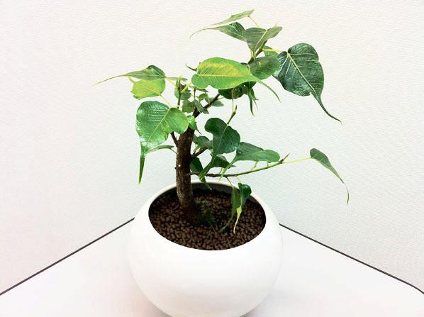 Ficus religiosa.JPG