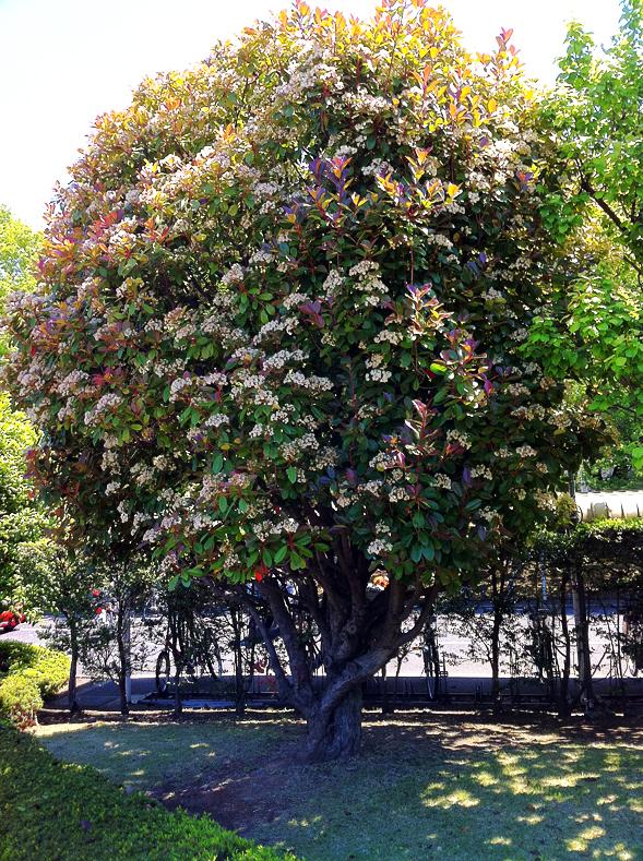 Photinia glabra.jpg